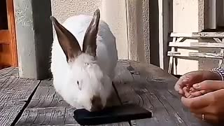 Rabbit picks up napkins - Video