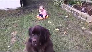 Massive dog pulls girl on sled with ease