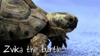 Tortoise Equipped With Wheels - Video