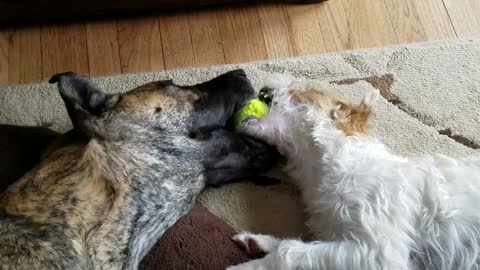 Great Dane and Terrier play mouth ball together