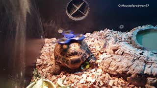 Turtle with fidget spinner spinning on shell - Video