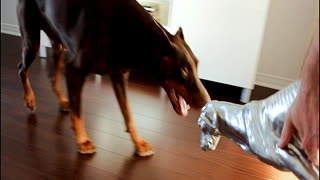 Doberman HATES his doberman dog statue - Video