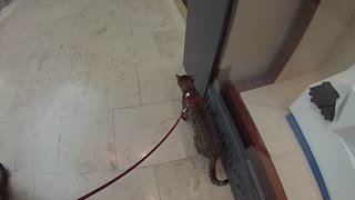 Cat has awesome leash walking skills