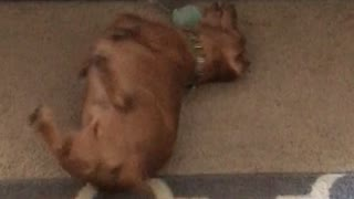 Brown dog playing with ball - Video
