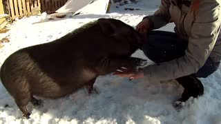 Farm pig learns how to shake hands for treats - Video