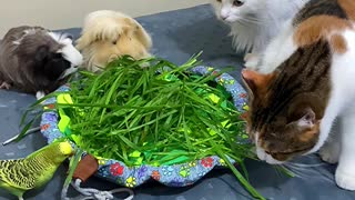 Guinea Pig, Birds, and Cats Share a Plate of Grass