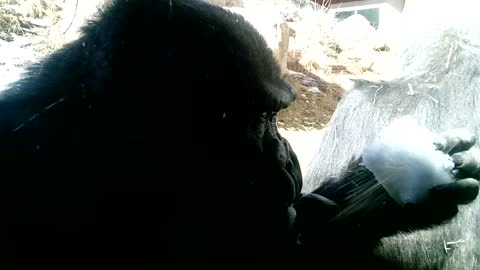 Gorilla Tries To Start Snowball Fight With Snack Gets Flipped Off Instead