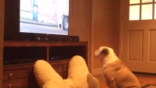 English Bulldog loves watching animal commercials on TV - Video