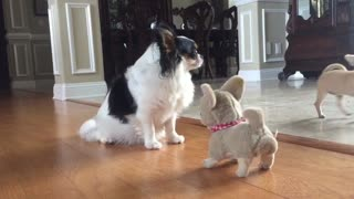 Unimpressed Chihuahua is unimpressed... - Video