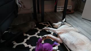 Husky upset that puppy is sleeping, throws temper tantrum