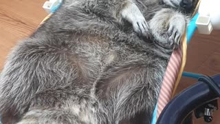 Raccoon lies in the baby reclined cradle, washing his face, and getting ready to sleep.