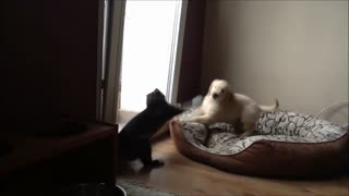 Golden Retriever puppy desperate to play with cat - Video