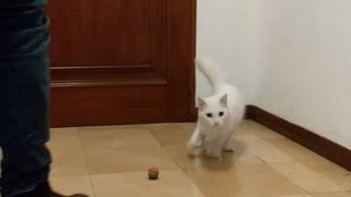Slowmo white cat bats red rolling ball then freaks out jumps - Video