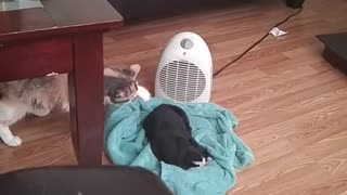 This Cat Is Absolutely Bewildered By The Newest Addition To The Family. - Video