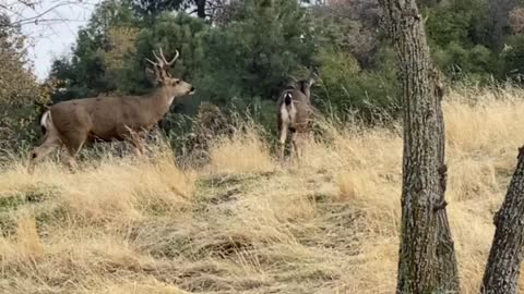 Buck Chasing Does