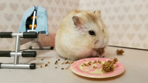 Tiny hamster chooses snacks over exercise