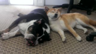 Bulldog preciously naps with Shiba Inu pal - Video