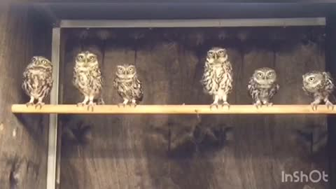 Young Owls Just Love To Dance For The Camera