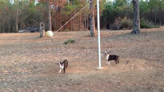 Two Boston Terriers Play A Game Of Tetherball - Video