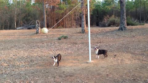 Two Boston Terriers Play A Game Of Tetherball