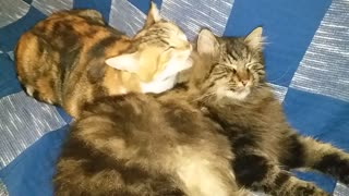Fluffy tomcat bath time  - Video