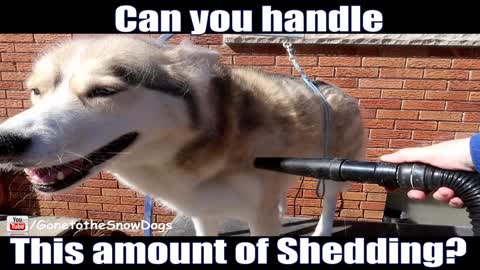 Shedding husky will make you rethink owning this breed