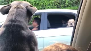 Small dogs barking to each other from different cars - Video