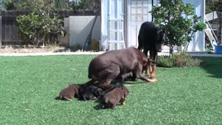Doberman mom keeping dad away from the pup