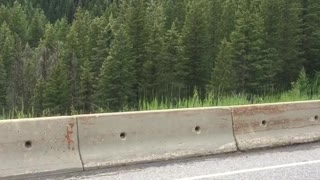 Bear Balances Along Guardrail