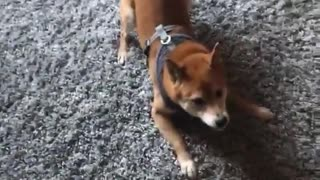 Dog chasing its tail and spinning in circles  - Video