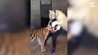 Brave Man Lives With Huge Rescued Tigers - Video