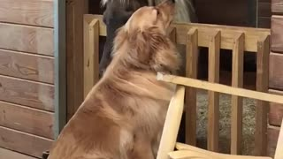 Molly the Golden Retriever loves Sammy the Mini Horse