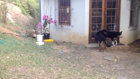 All of Sudden a loin come from back of house when dogs are playing they hesitate all of sudden