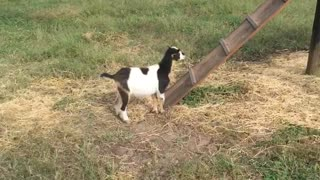 Black and white goat tries to follow kid up ramp but fails