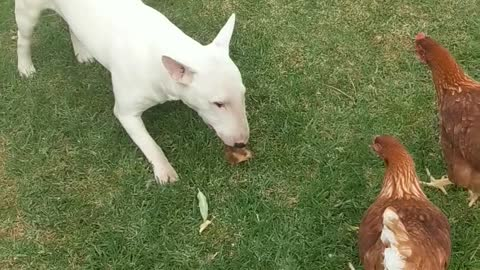 Chickens chase bull terrier for his tasty treat