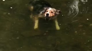 Chill Border Collie Loves Floating