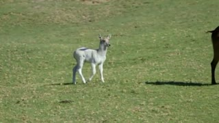 Rare white waterbuck calf at San Diego Zoo - Video