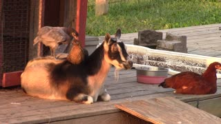 Zen-like goat allows chickens to play on his back