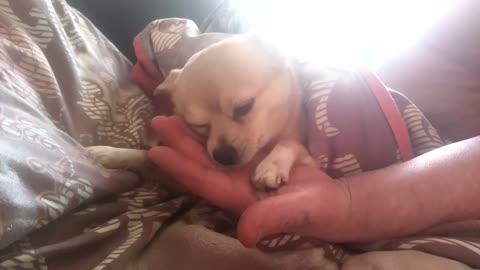 Affectionate sleeping dog loves master's hand to lick