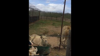 Lion Catches Food Mid-Air - Video