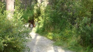 Bear on a Trail - Video