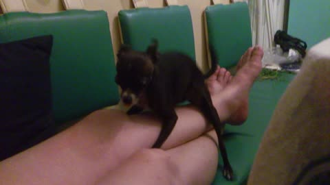 small dog gets on top master a foot
