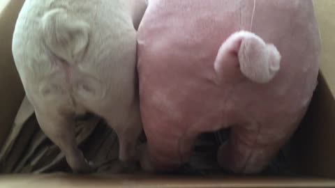 French Bulldog loves a stuffed pig that looks like him!