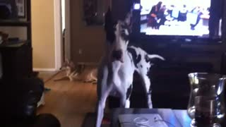 Great Dane seriously confused by wolf howling sounds - Video