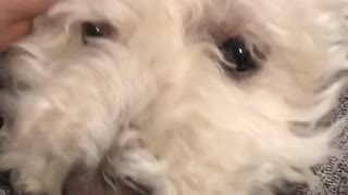 White dog in between owners leg scared of rain