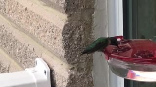 Hummingbird befriends human  - Video