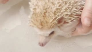 Sweet Hedgehog taking Bath!! - Video