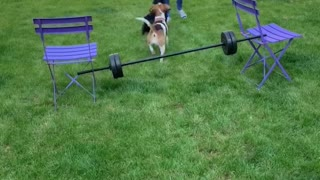 Beagle Jump Training Using Treats