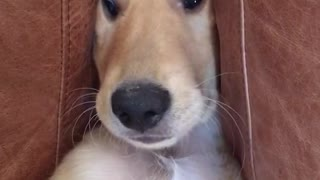 Dog is stuck between cushions - Video