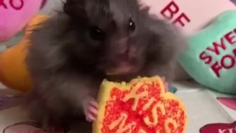 Cute hamster munches a cookie